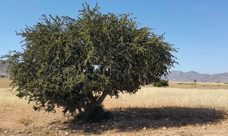 摩洛哥堅果油產地生產以及摩洛哥堅果油的父母~刺阿幹樹介紹